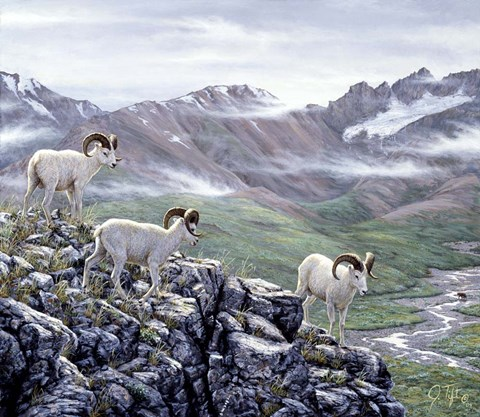 Framed Dall Sheep At Denali Print