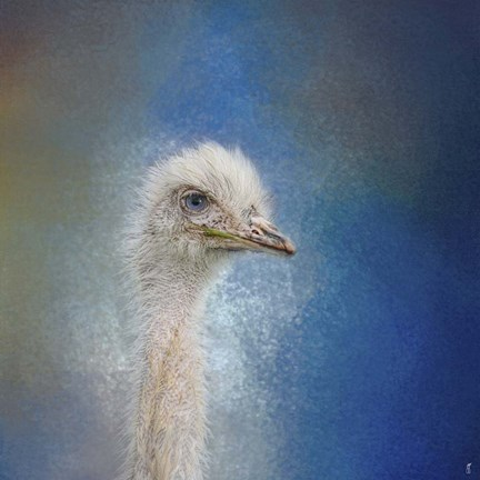 Framed Blue Eyed Beauty Ostrich Print