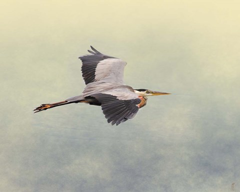 Framed Blue Heron In Flight 1 Print