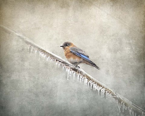 Framed Bluebird Braving The Cold Print