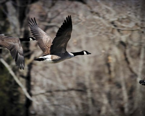 Framed Canadian Goose In Flight 3 Print