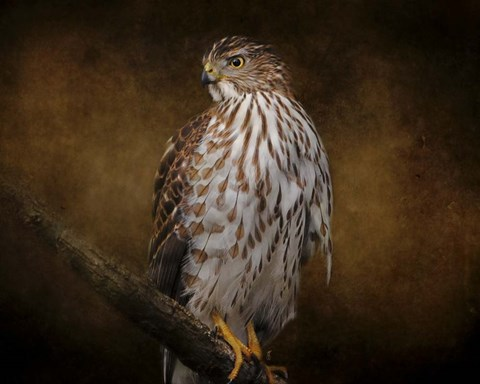 Framed Coopers Hawk Portrait 1 Print