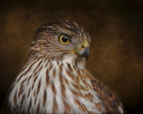 Framed Coopers Hawk Portrait 2 Print