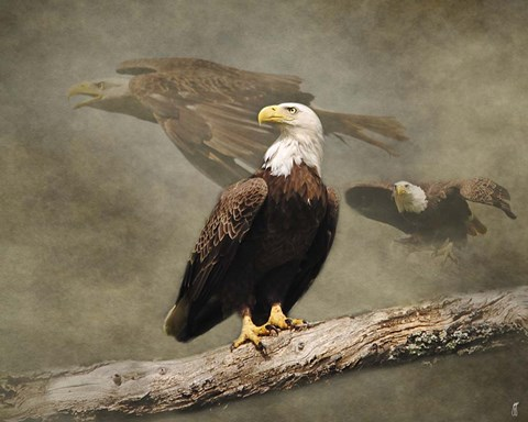 Framed Dreaming Of Freedom Bald Eagles Print