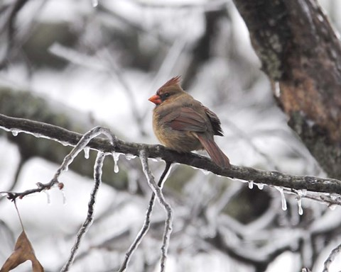 Framed Female Cardinal Braving The Cold Print