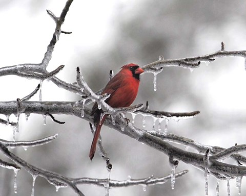 Framed Male Cardinal Braving The Cold Print