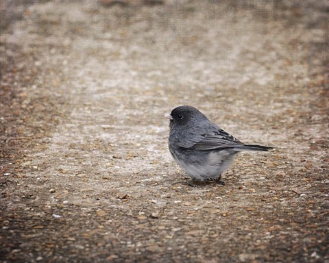 Framed Tiny Junco In A Big World Print
