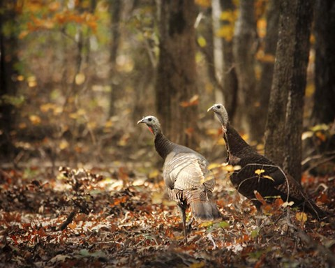 Framed Wild Turkey In The Woods Print