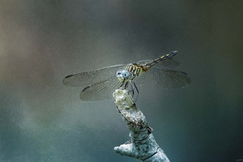 Framed Perched Dragonfly Print
