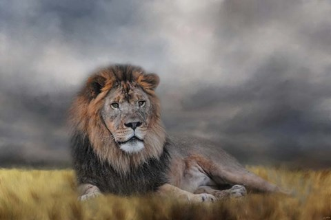Framed Lion Waiting For The Storm Print
