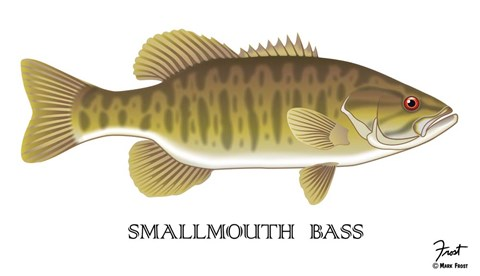Framed Smallmouth Bass Print