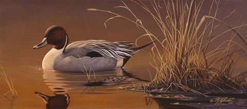 Framed Amber Light - Pintail Print