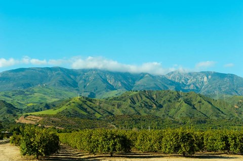 Framed Orange Tree Grove, Santa Paula, Ventura County, California Print