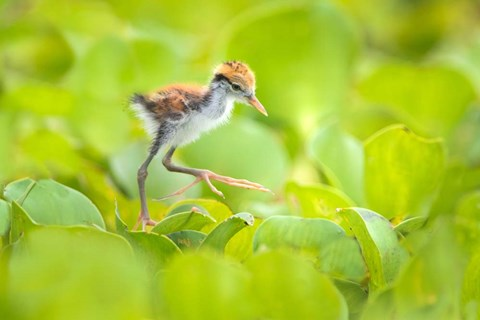 Framed Northern Jacana Chick, Pantanal Wetlands, Brazil Print
