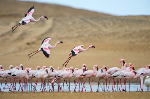 Framed Greater Flamingos, Namibia Print