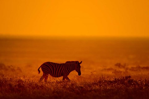 Framed Zebra in a Field, Etosha National Park, Namibia Print