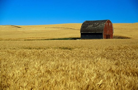 Framed Red barn in wheat field, Palouse region, Washington, USA. Print