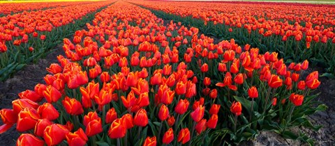 Framed Rows of Red Tulips in bloom, North Holland, Netherlands Print