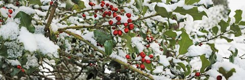 Framed Holly Berries Covered in Snow Print