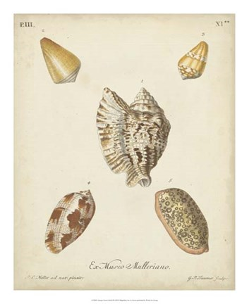 Framed Antique Knorr Shells III Print