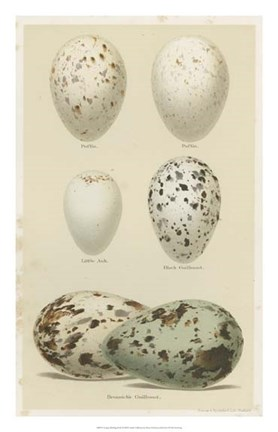 Framed Antique Bird Egg Study II Print