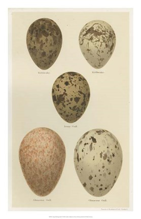 Framed Antique Bird Egg Study IV Print