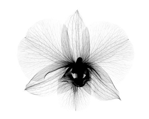 Framed Dendrobium 2  X-Ray Orchid Print