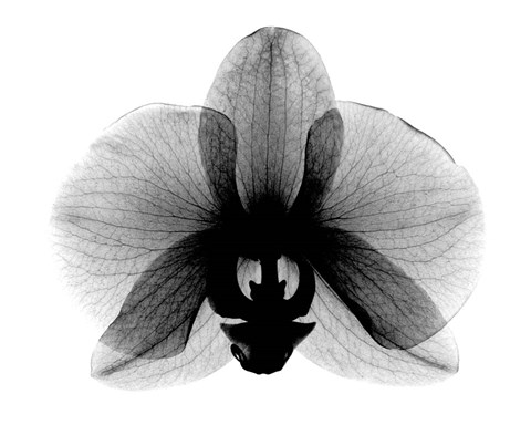 Framed Orchid, Small  X-Ray Print