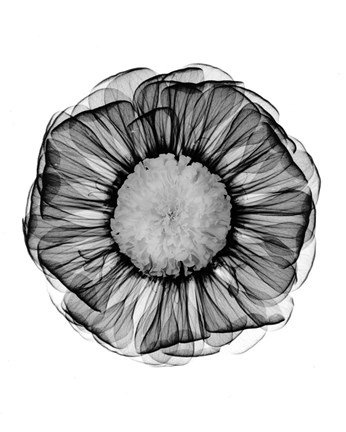 Framed Zinnia Montage Black & White X-Ray Print
