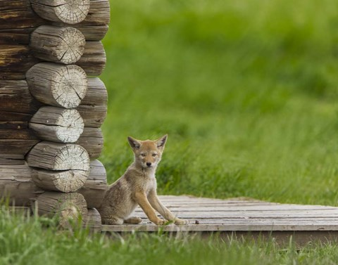 Framed Coyote Pup on Log Cabin Porch Print