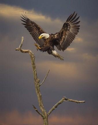 Eagle Landing On Branch Fine Art Print By Galloimages