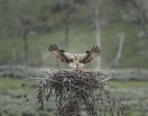 Framed Osprey Lands on Nest With Chick Print