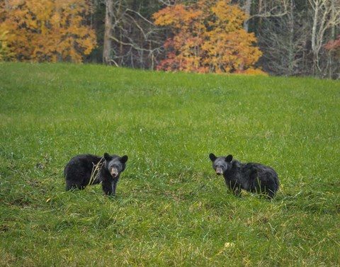 Framed Black Bear Cubs Print