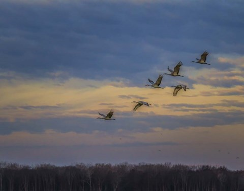 Framed Sandhill Cranes At Sunrise Print