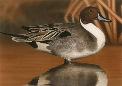 Framed Northern Pintail III Print