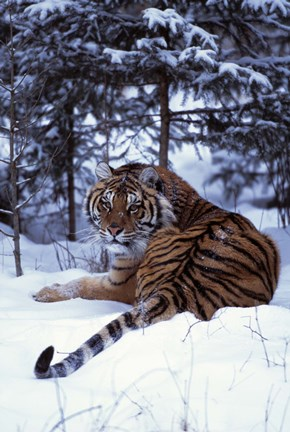 Framed Beautifully Striped Tiger in Snow Print