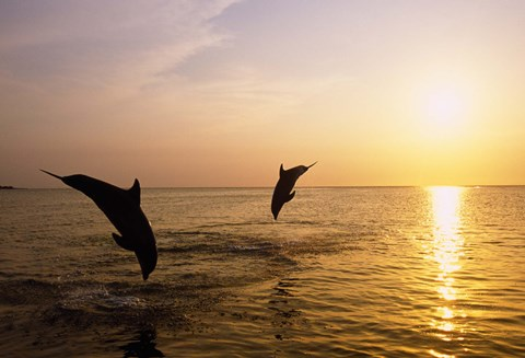 Framed Dolphins Jumping at Sunset Print