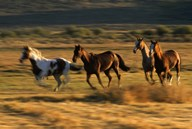 Wild Horses Running  Fine Art Print