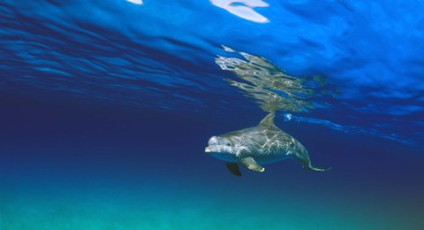 Framed Lone Dolphin Under Water Print