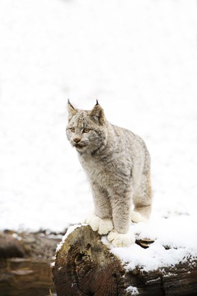 Framed Furry Bobcat in Snow Print