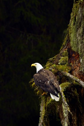 Framed Eagle Perched on Branch Print