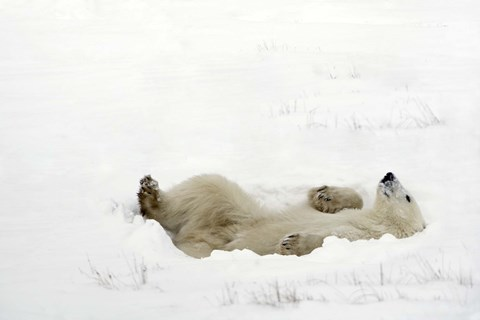 Polar Bear Laying On Back In Snow Fine Art Print By