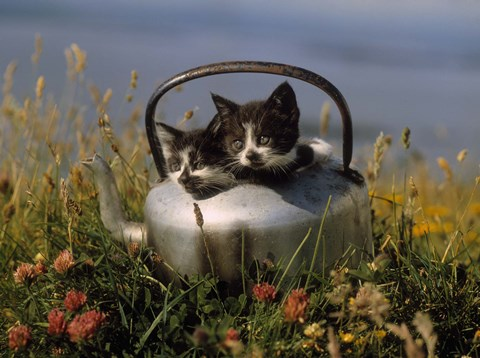Framed Kitten on Tea Pot in Field Print