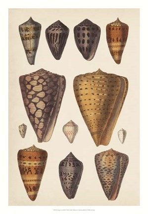 Framed Antique Cone Shells I Print
