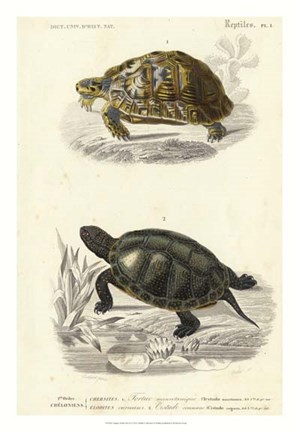 Framed Antique Turtle Duo II Print