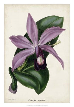 Framed Plum Orchid Print
