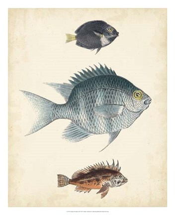 Framed Antique Fish Species III Print