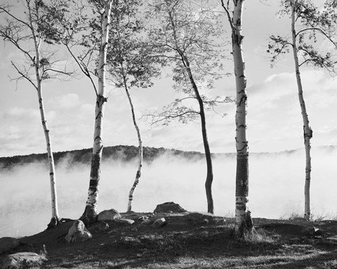Framed Birch Trees & Mist Print