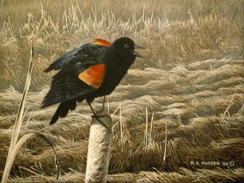 Framed Red Winged Blackbird Print