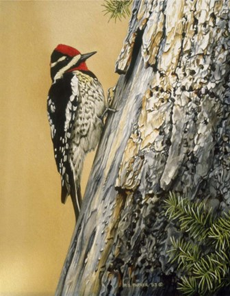 Framed Yellow Bellied Sapsucker Print